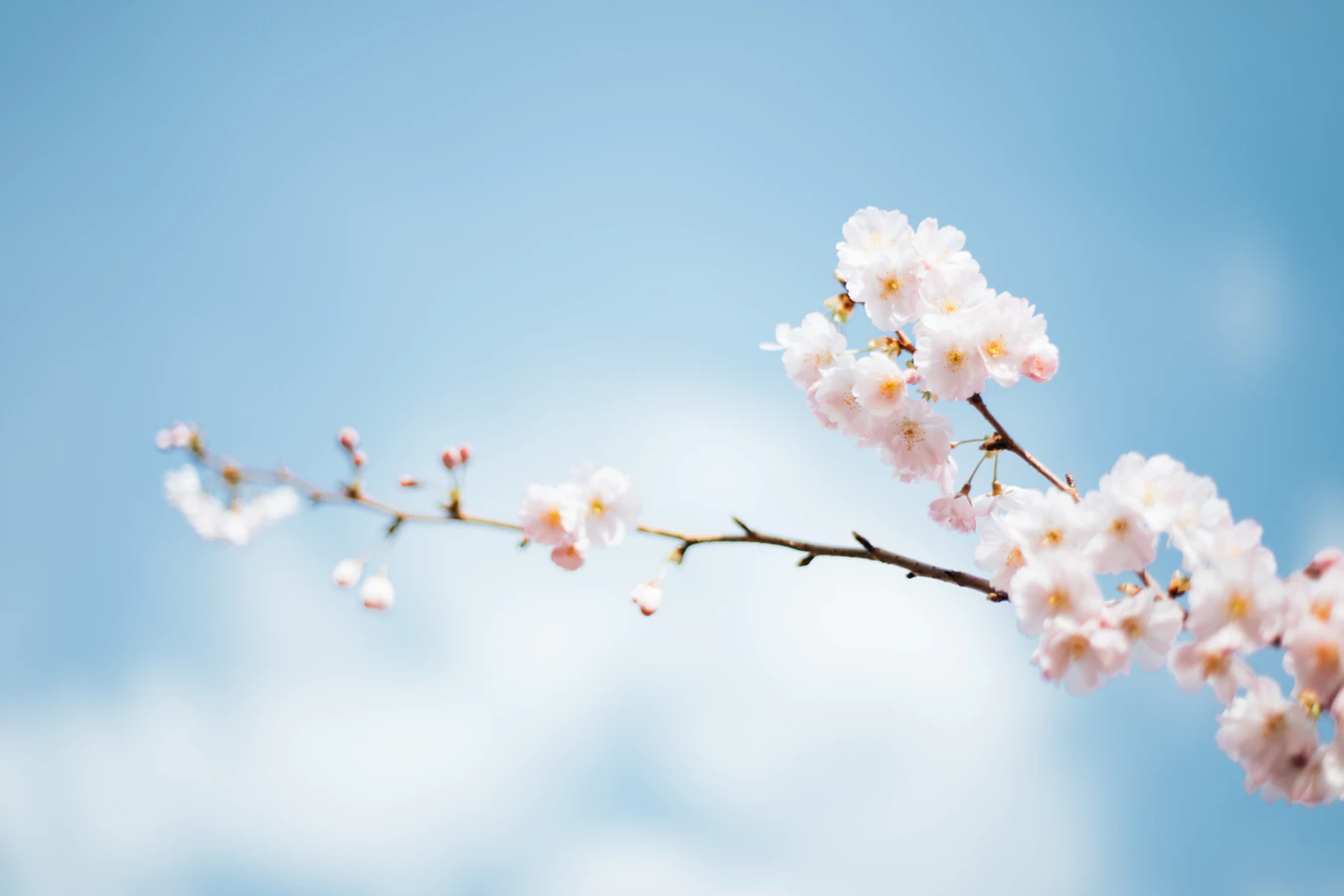 Cherry Blossoms Against Bright Blue Sky